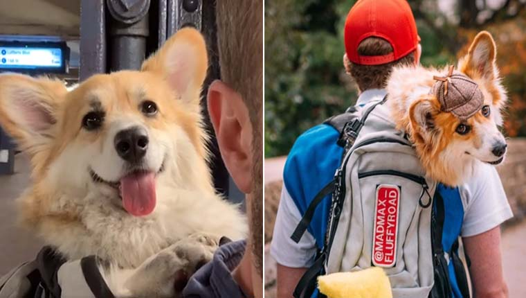 Homem carrega cachorro corgi na mochila para onde vai e encanta a todos