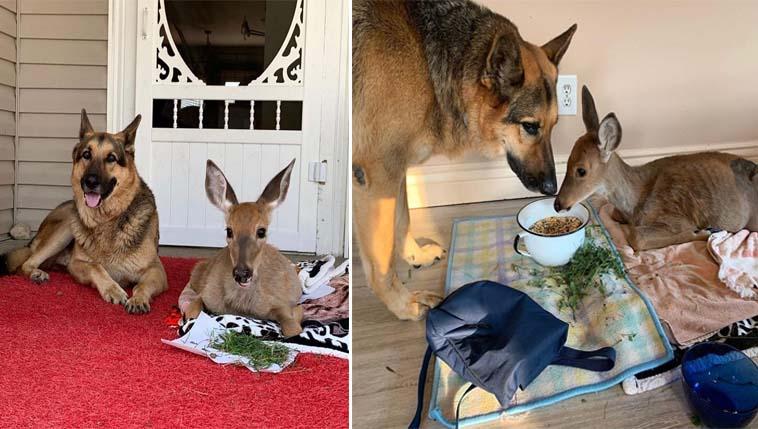 Pastor alemão vira babá de animais órfãos resgatados da caça