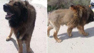 cachorro que parece leão