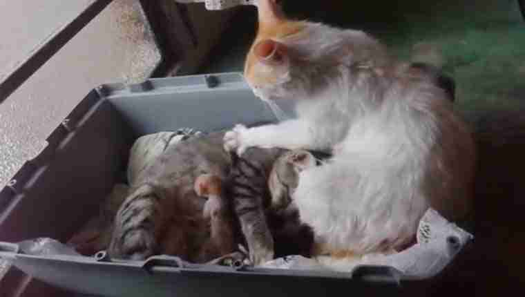 Gato massageia gata enquanto ela amamenta filhotes