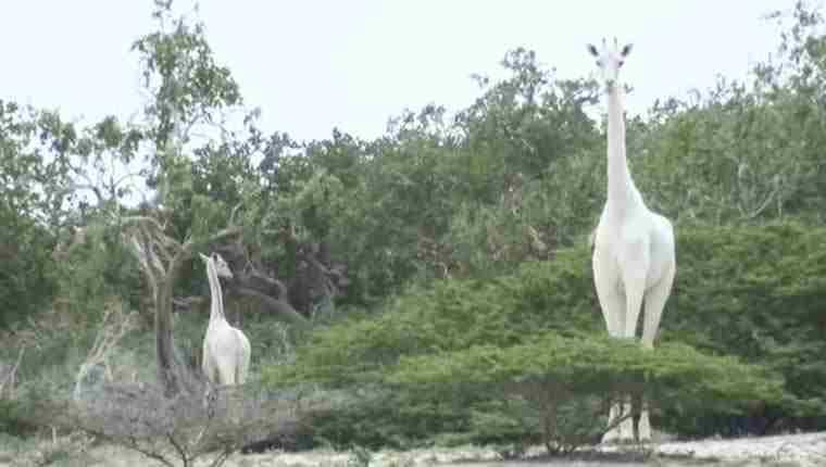 Caçadores mataram duas das últimas três girafas brancas do mundo