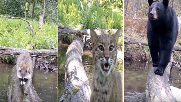Animais usam tronco para atravessar rio