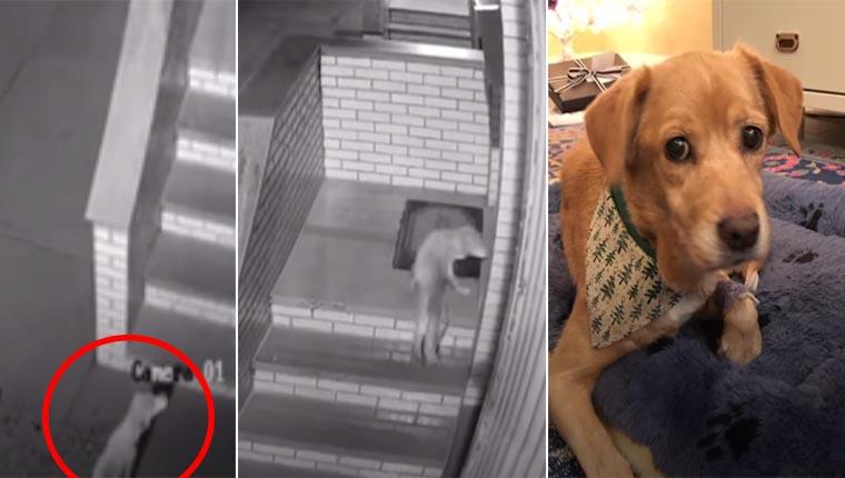Cadelinha ferida invade casa no meio da noite e acaba adotada
