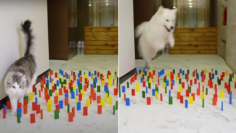Desafio viral mostra como cães e gatos reagem a obstáculos pelo caminho em casa