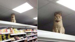 Gato misterioso insiste em ficar em mercado, não importa quantas vezes seja expulso