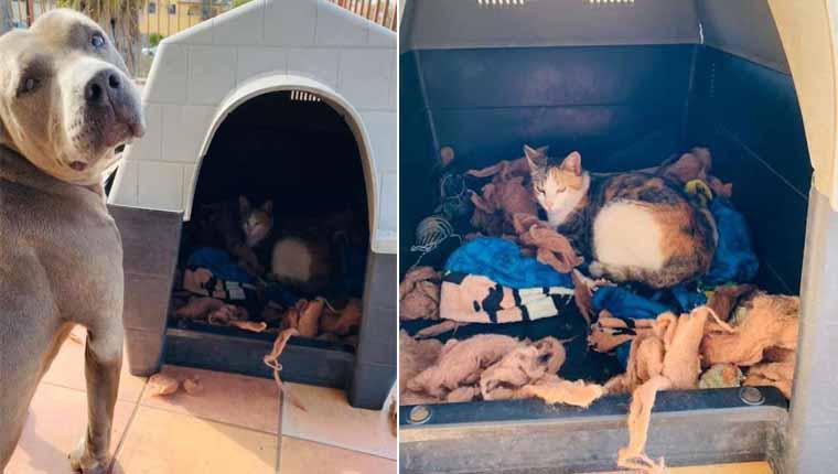 Pitbull amável convida gatinha de rua grávida a ter bebês em sua casinha