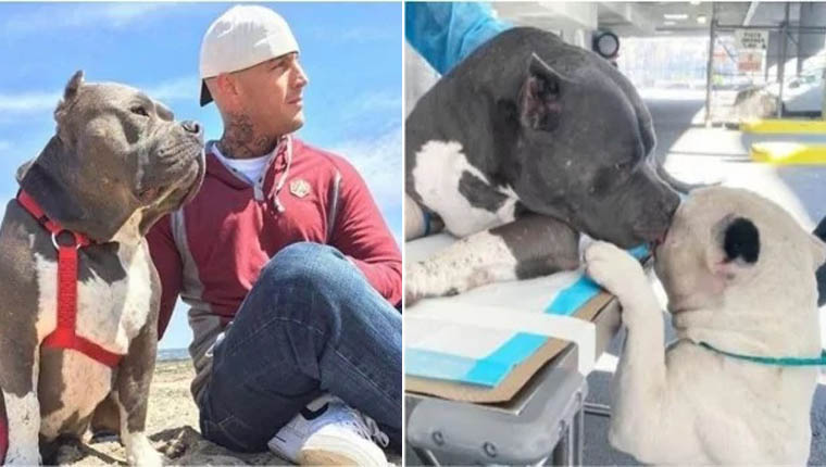 Pitbulls amigos consolam um ao outro após morte do dono em acidente