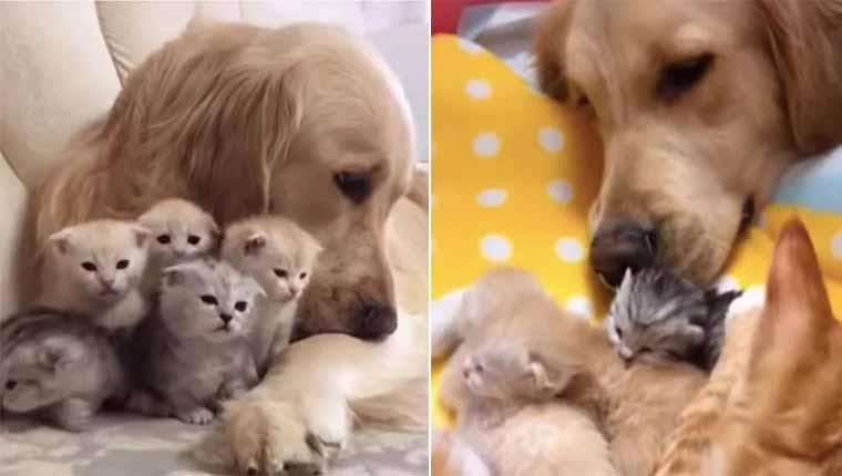 Cadela golden retriever ajuda amiga gatinha a cuidar dos filhotes
