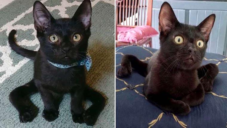 Gatinho especial se parece com uma aranha e foi adotado por último