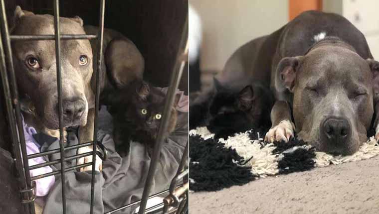 Pitbull adotado convence mãe humana a ficar com gatinho que ele adotou