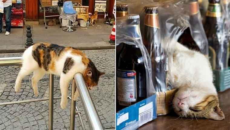 Gatinhos pegando no sono nos lugares mais absurdos – fotos hilárias