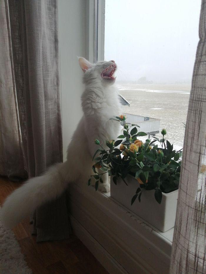 fotos de gatos miando