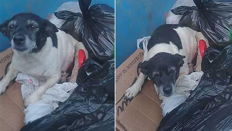 Cadela com um tumor foi descartada em lixeira em Botucatu