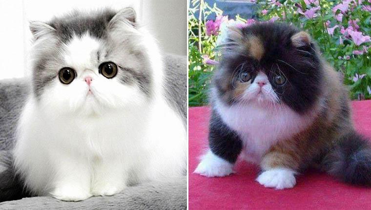 Fotos de gato persa filhote: 17 imagens desses lindos gatinhos