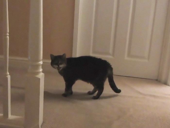 fotos de gatinhos gritando miando
