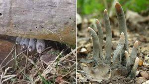 Fungos assustadores parecem dedos humanos mortos: fotos de dar medo