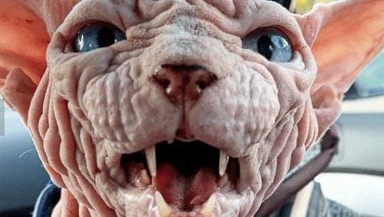 Conheça o gatosphynxpremiado como o gato mais assustador do mundo