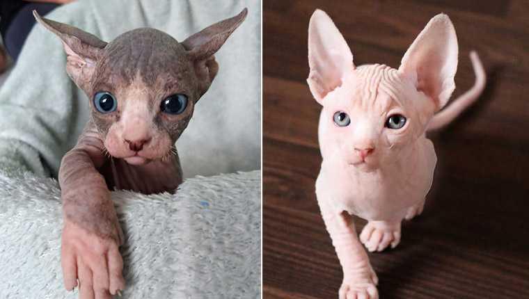 Filhotes de gato sphynx provam que é possível ser fofo mesmo sem pelos