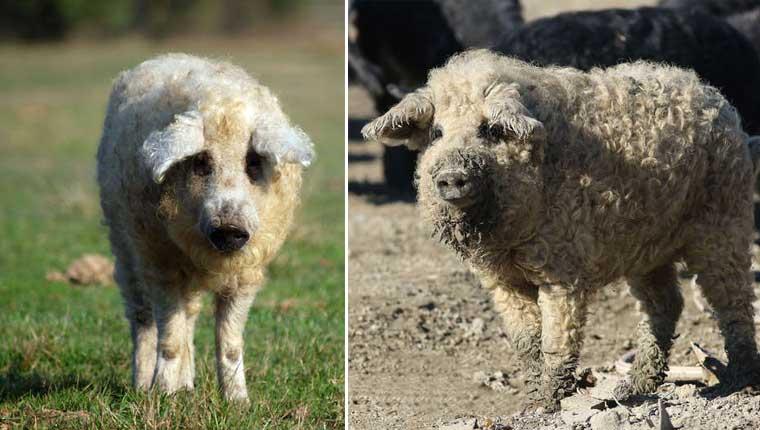 Porcos fofos que parecem ovelhas conquistam a internet