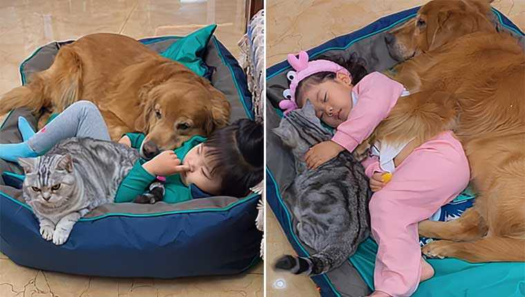 Goldenretrievere gatinho são os melhores amigos dessa adorável menininha
