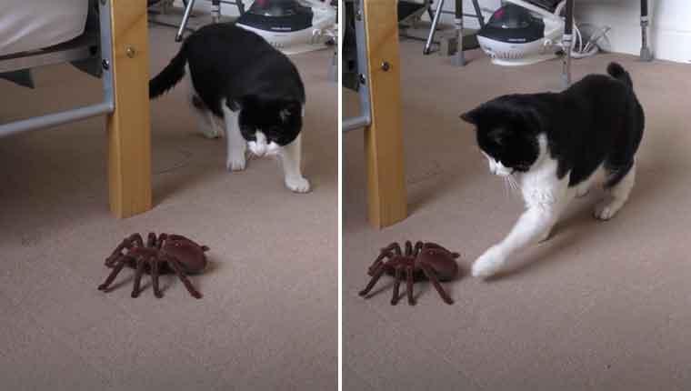 Aranha gigante assusta gatinho em vídeo que teve milhões de visualizações