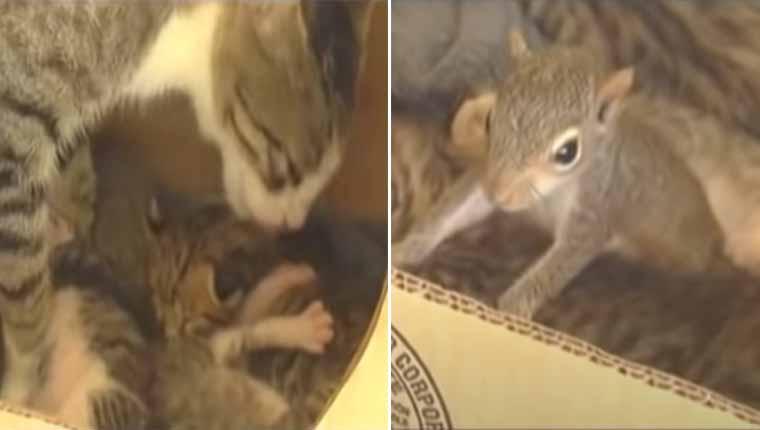 Gatinha adota esquilo em sua ninhada e o ensina a ronronar