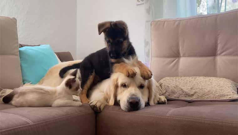 Gatinho e filhote de pastor alemão enlouquecemgoldenretrieveradulto