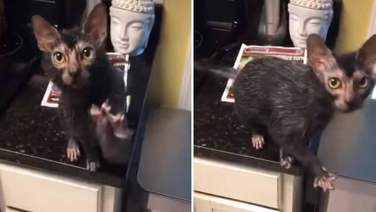 Gatinho que parece um rato intriga e encanta ao mesmo tempo