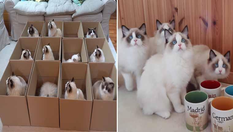 Várias caixas chegam a uma casa cheia de gatinhos da raçaragdoll