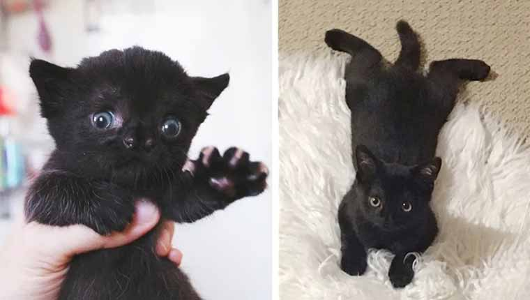 Gatinha abandonada venceu tudo e se tornou uma linda gata