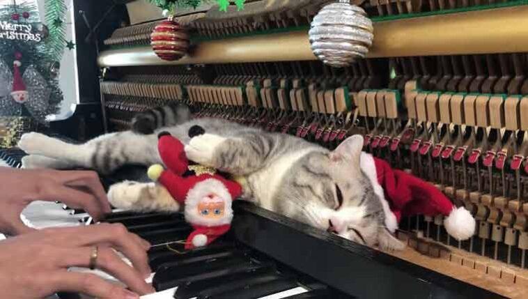 Gato-recebe-massagem-de-piano