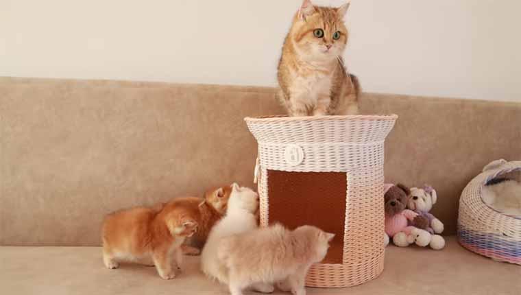 Mamãe gatinha tenta organizar filhotes bagunceiros para amamentar