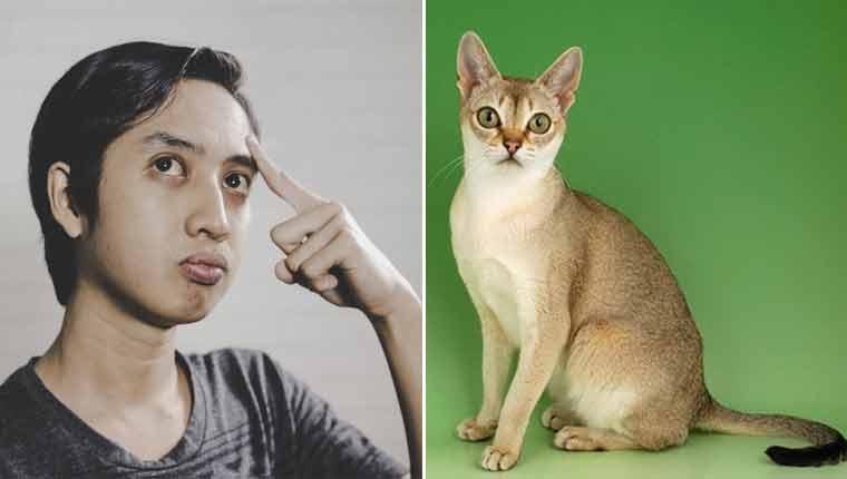Qual é a menor raça de gato do mundo?