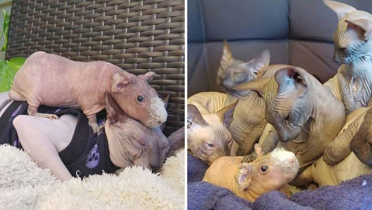 Família de gatosSphynxadota porquinho-da-Índia sem pelos