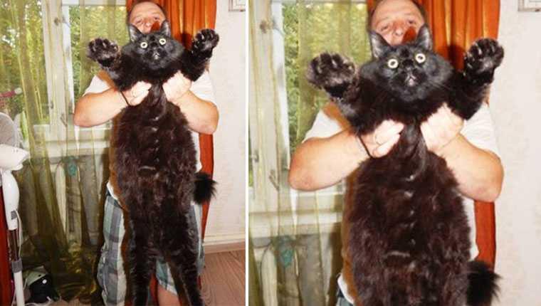 Gatinho gigantesco que pesa quase 10 quilos vai te impressionar
