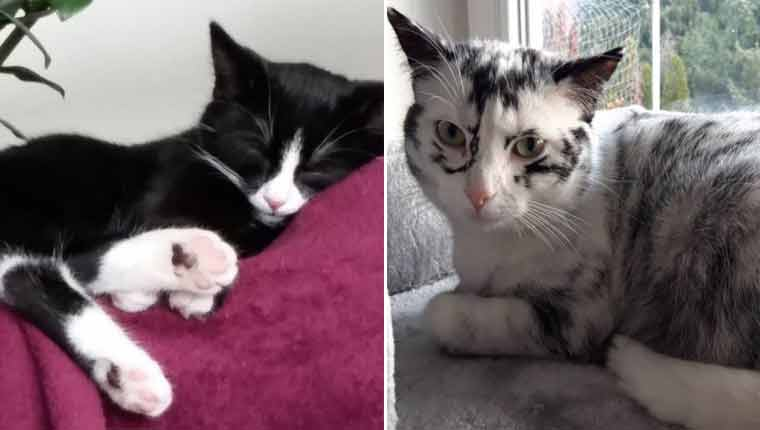 Gatinha com vitiligo se transforma aos poucos e resultado é lindo