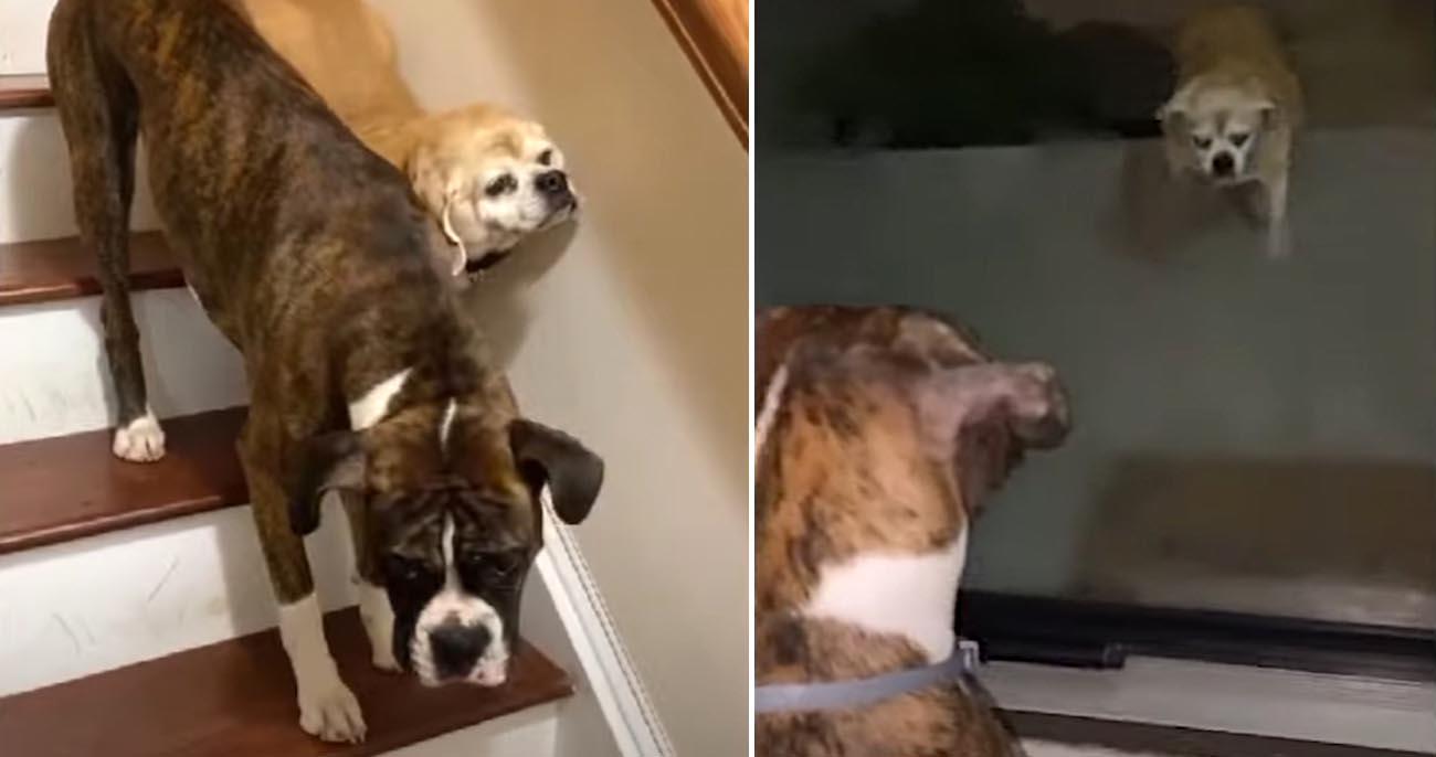 Cachorro ajuda o irmão cego a descer escadas e o mantém seguro