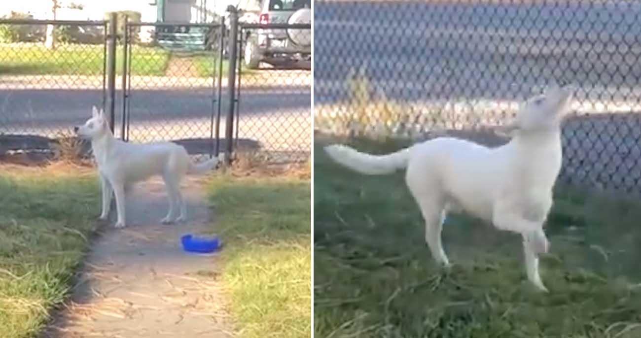 Cachorro cego e surdo sente que o dono está vindo para casa em vídeo lindo