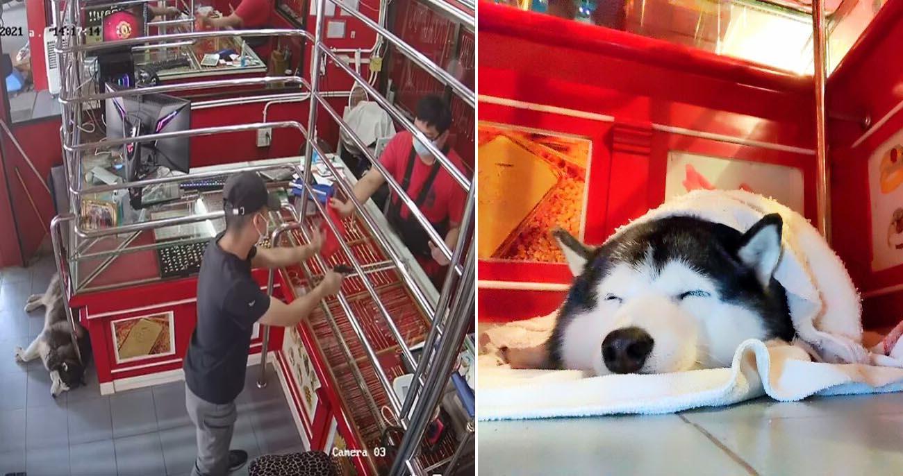 Cachorro de guarda ignora ladrão durante treinamento de roubo a joalheria