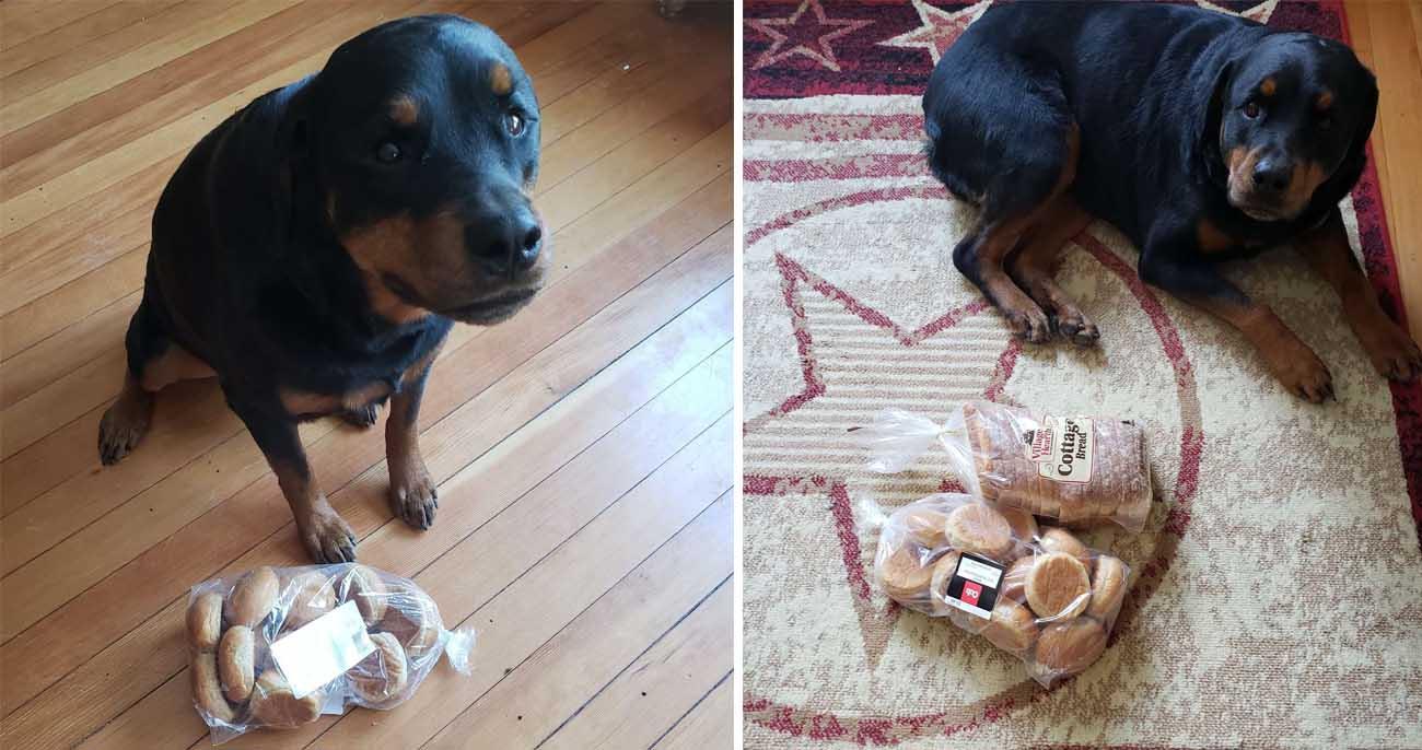 Cachorro fiel coleta e protege o pão da família quando eles saem