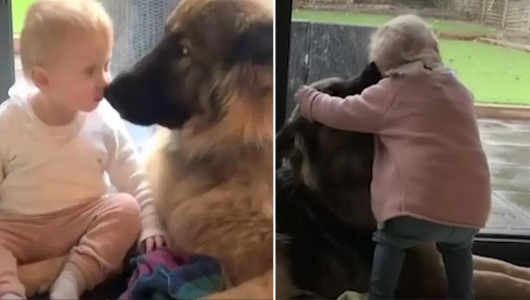 Cachorro grande se torna o guardião de uma pequena menina