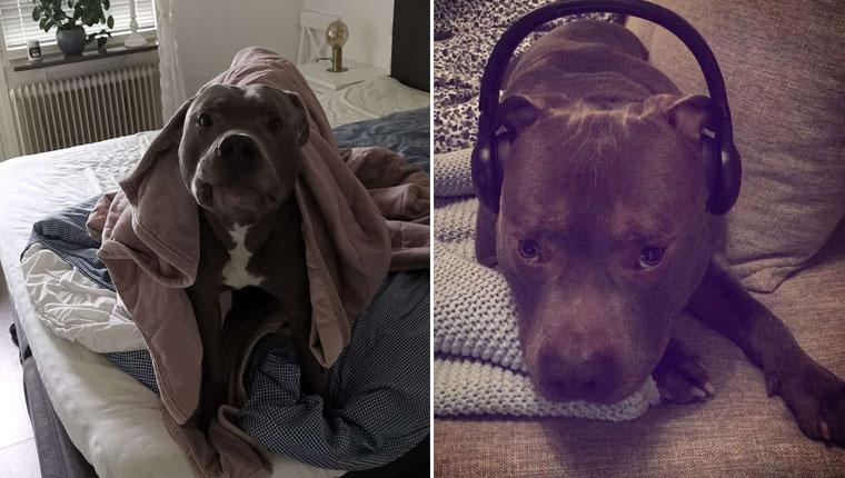 Cachorro pitbullsalva a vida de vizinha que odiava ele