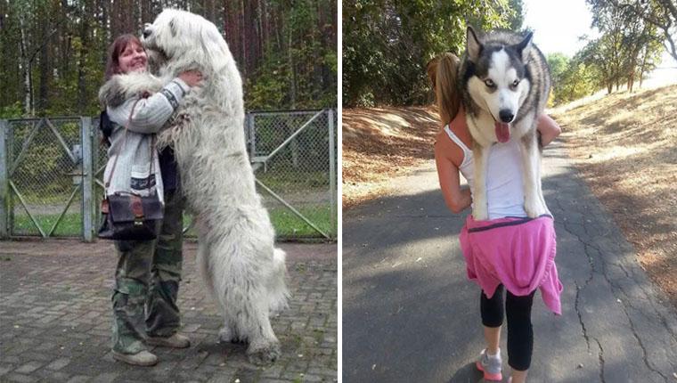 Cachorros gigantes que acham que ainda são filhotes vão te encantar