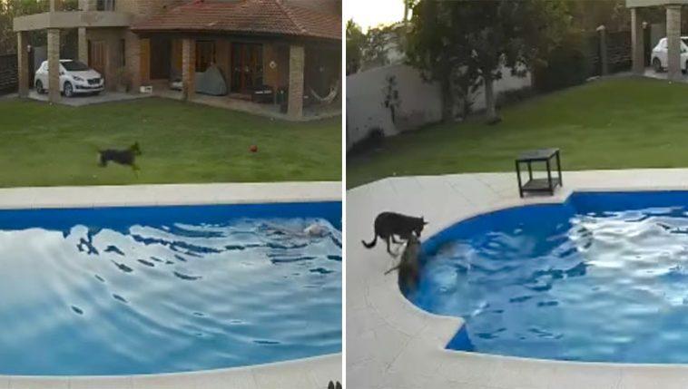 Cadela idosa caiu na piscina