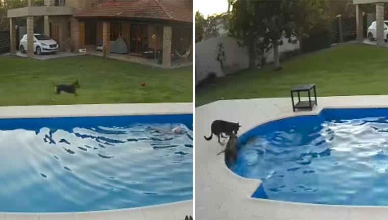 Cadela idosa caiu na piscina e um filhote corajoso a salvou