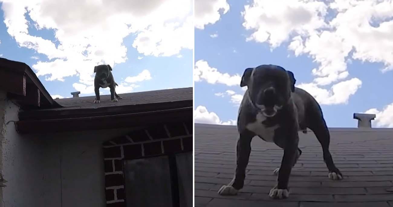 Homem escuta um barulho no telhado e acha filhote de pitbullbrincando