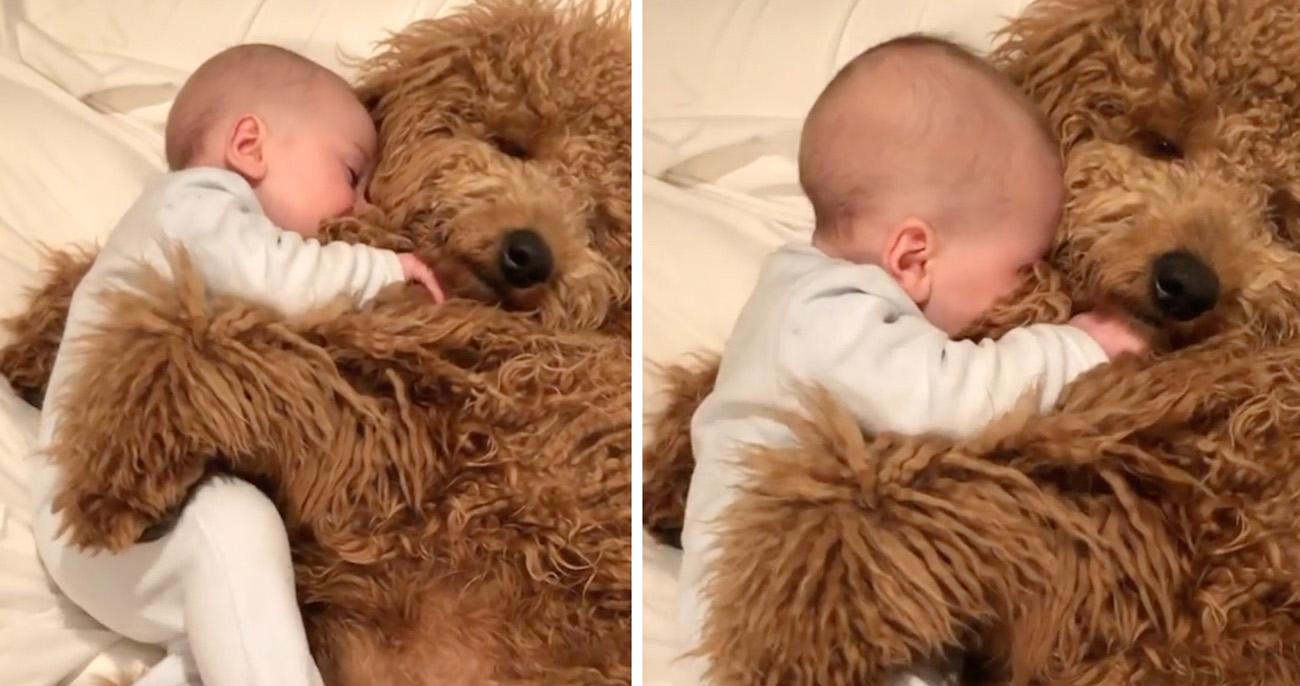 Bebê afaga e adormece nos pelos de cachorrogoldendoodlecarinhoso