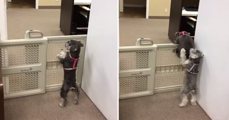 Cachorrinho ajuda amigo a fugir do cercadinho