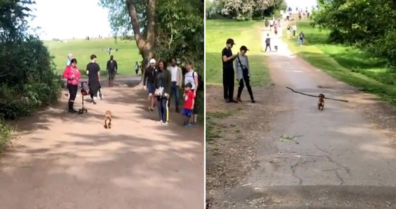 Cachorrinho com seu galho gigante expulsa todo mundo do caminho