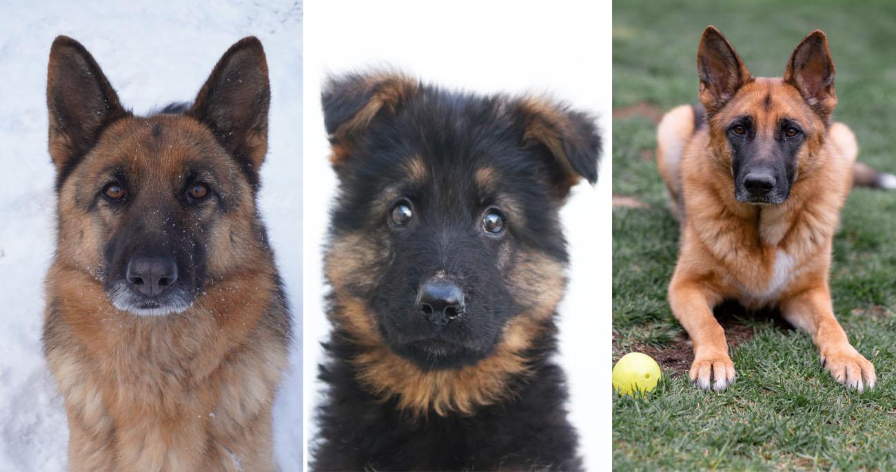 Cachorro Pastor-alemão: Origem, tamanho, saúde e muito mais